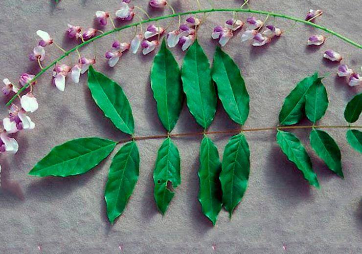 Лист глицинии обильноцветущей