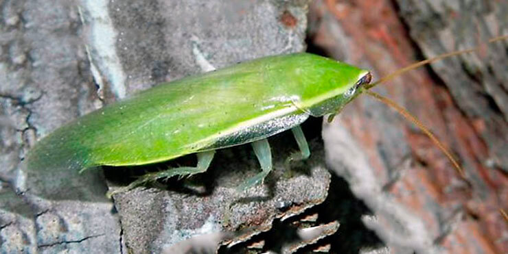 Банановый зеленый таракан фото