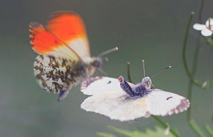 Пара бабочек зорька