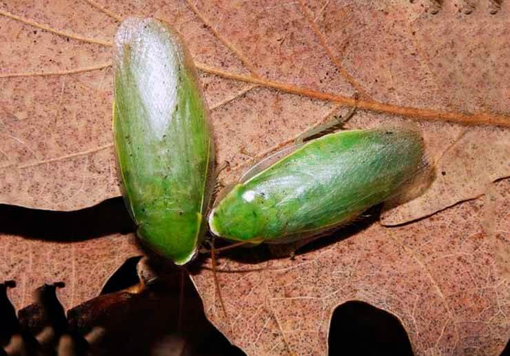 Кормление банановых зеленых тараканов