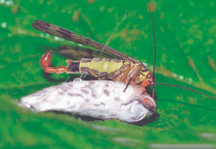 Скорпионница обыкновенная поедает добычу паука