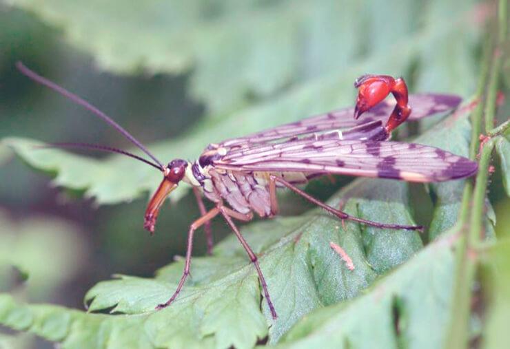 Скорпионница обыкновенная фото