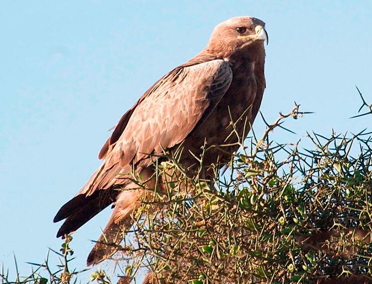 Степной орел на дереве
