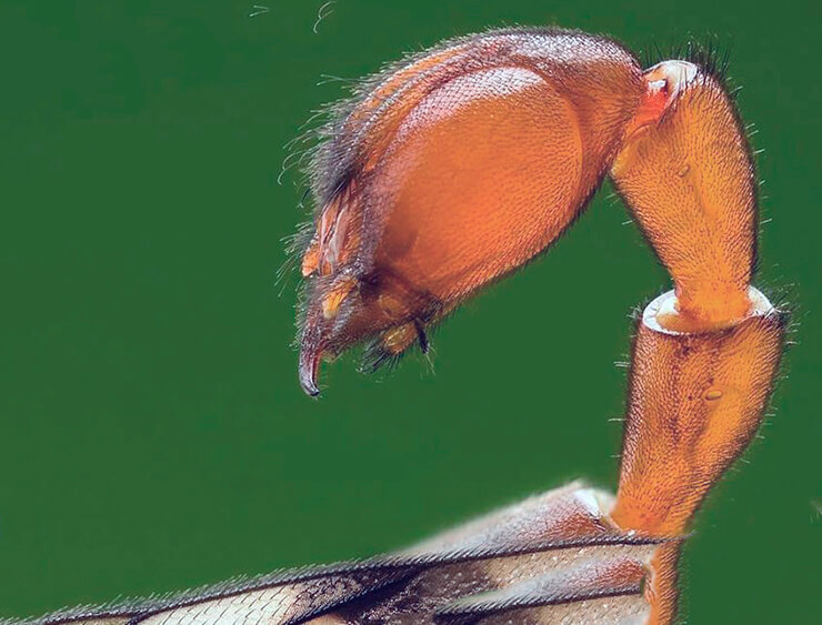 Жало Скорпионницы обыкновенной