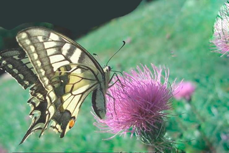 Изображение бабочки махаон