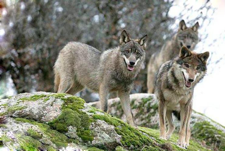 Картинка с серыми волками