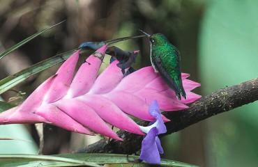 Бенджаминов колибри