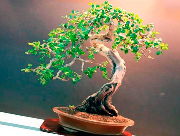 Бонсай рожкового дерева