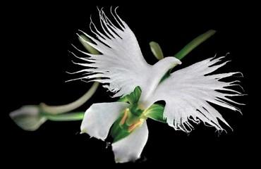 Орхидея хабенария радиата