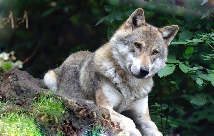 Серый волк фото