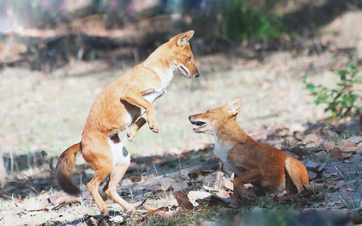 Игра красных волков