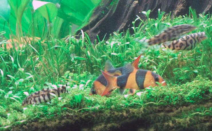 Совместимость боции клоун с рыбками