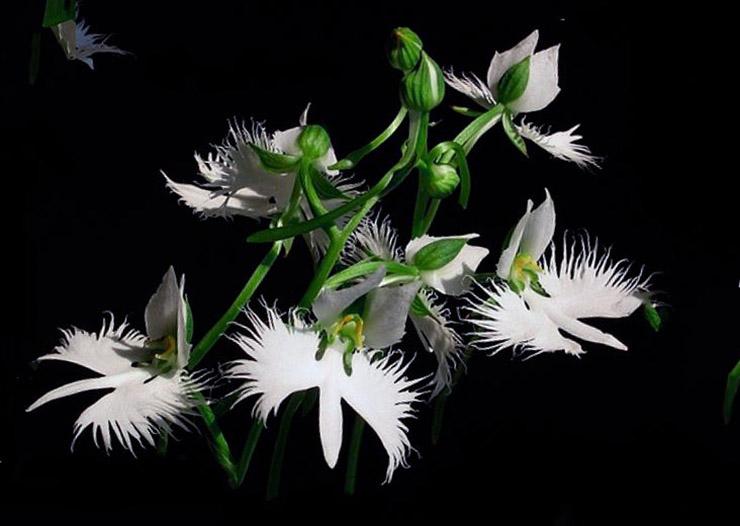 картинка с орхидеей хабенария радиата