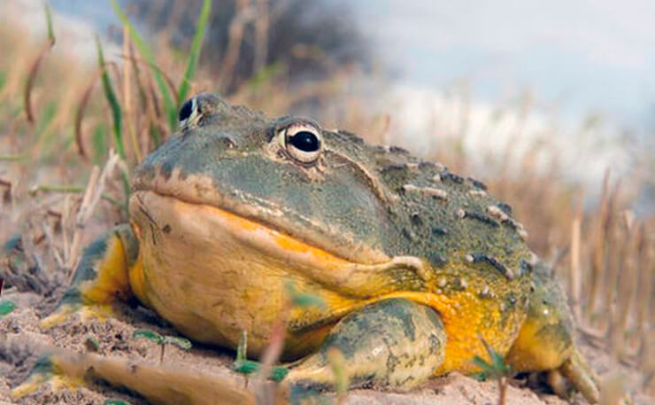 Роющая лягушка фото
