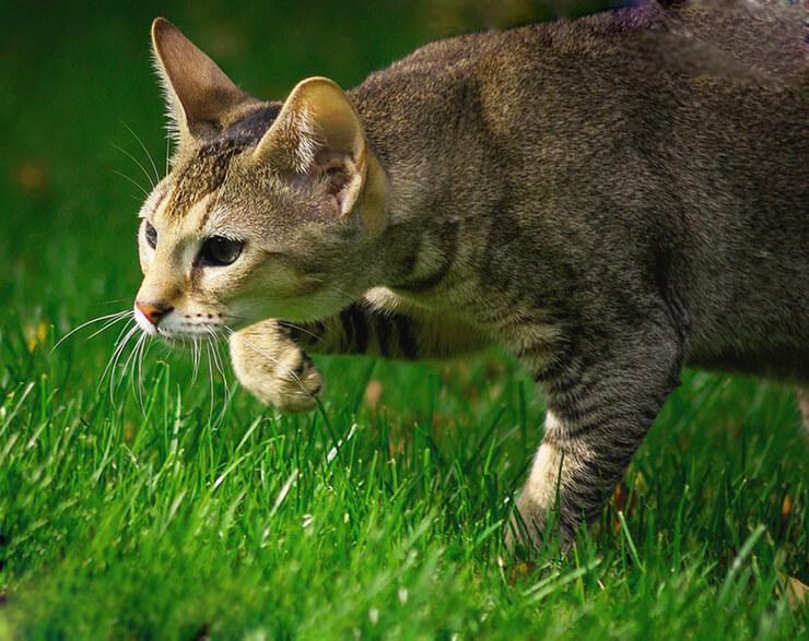 Охота камышового кота
