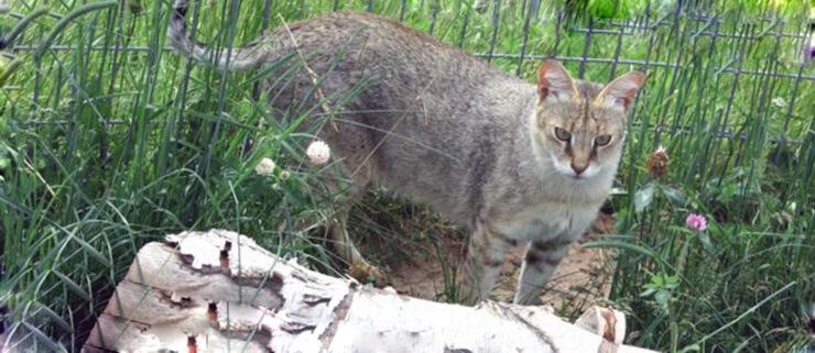 Содержание камышового кота в неволе