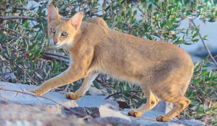 Картинка с камышовым котом