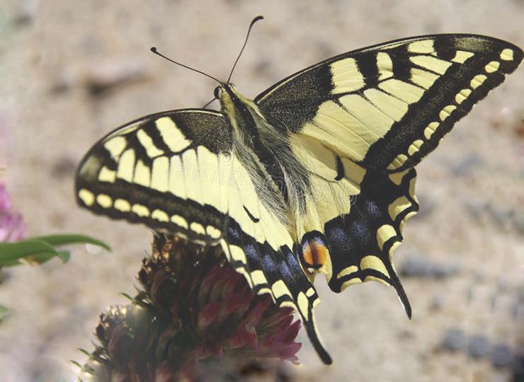 Картинка с бабочкой махаон