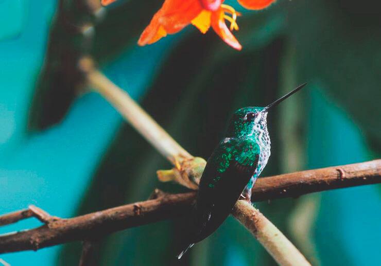 Бенджаминов колибри фот