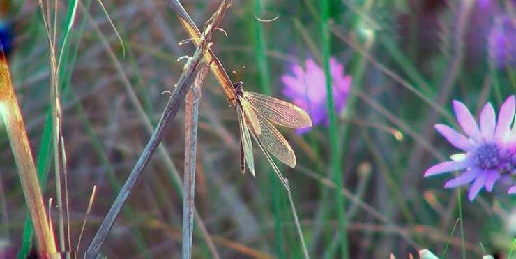лев муравьиный обыкновенный фото