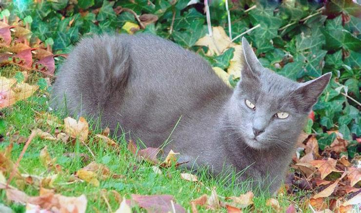 Порода кошек корат на лужайке