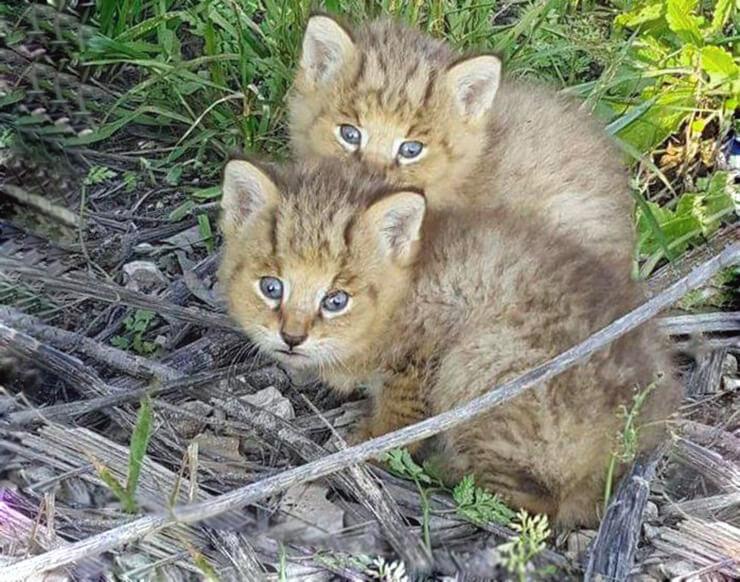 Котята камышового кота