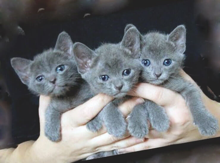 Котята породы кошек корат