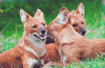 Красный волк, или буанзу