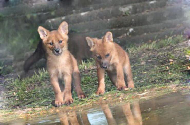 Маленькие красные волки