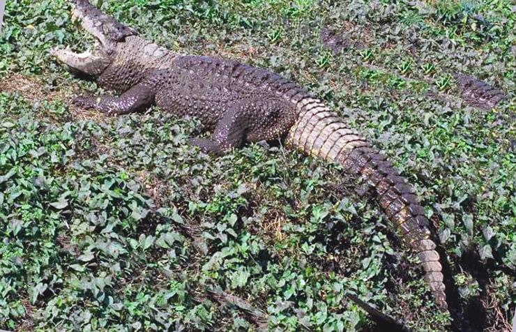Картинка с кубинским крокодилом
