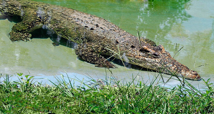 Река с кубинским крокодилом