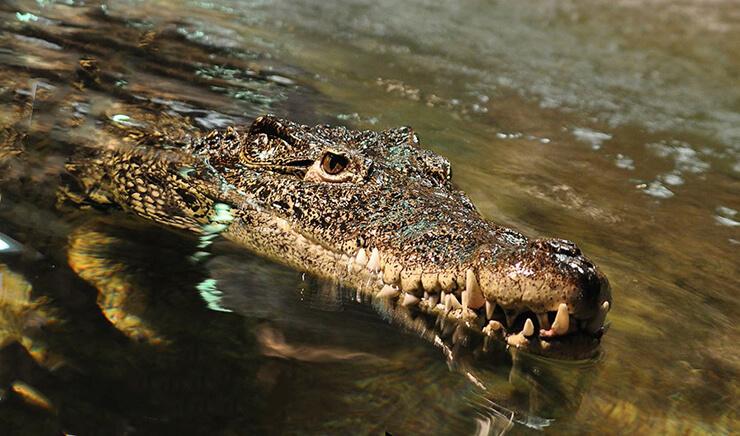 Открытая пасть кубинского крокодила