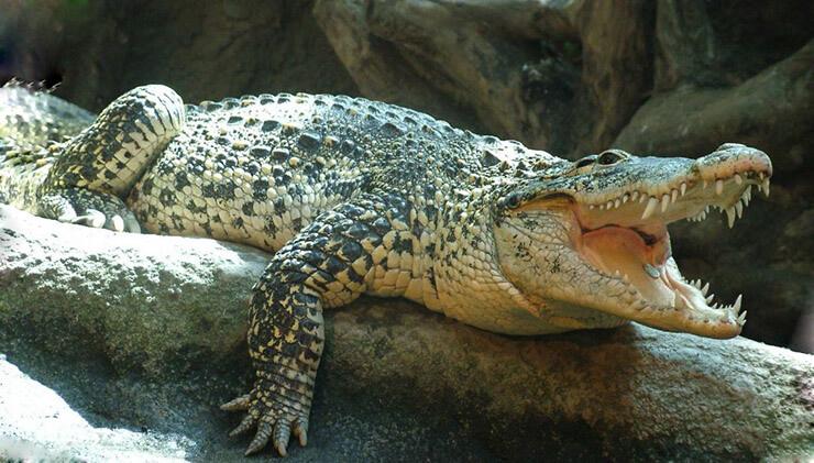 Кубинский крокодил фото