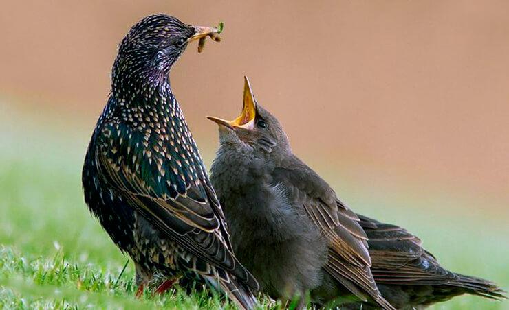 Обыкновенный скворец кормит птенца