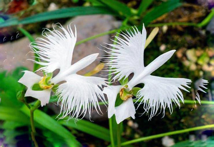 Орхидея хабенария радиата фото