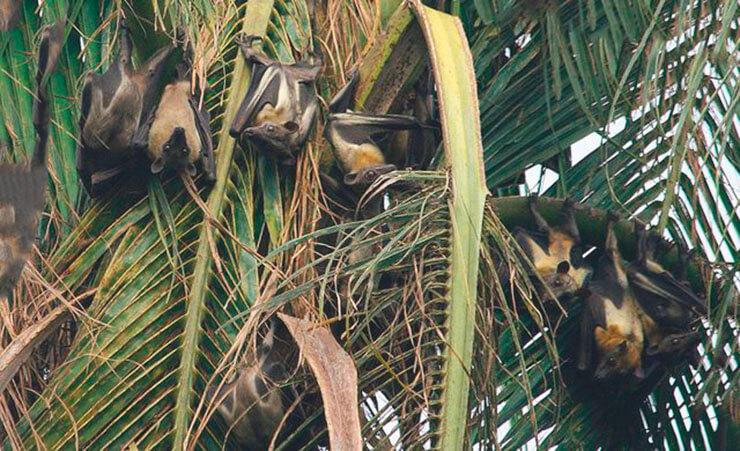Пальмовый крылан на банане