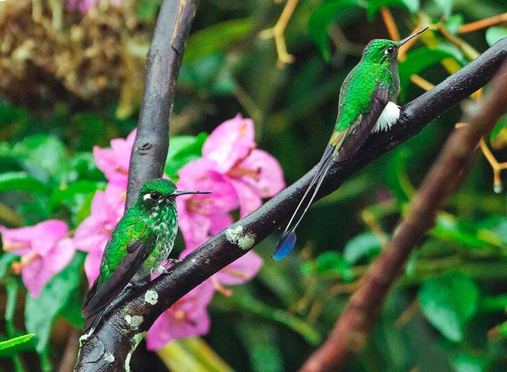 Парочка бенджаминовых колибри
