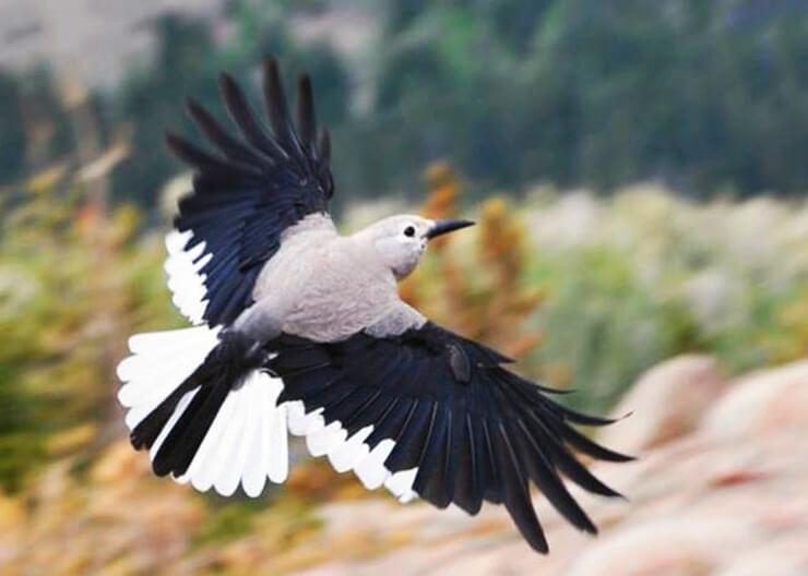 Полёт Североамериканской ореховки