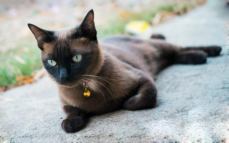 Кошка породы корат на асфольте