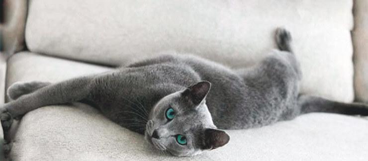 Кошка корат фото