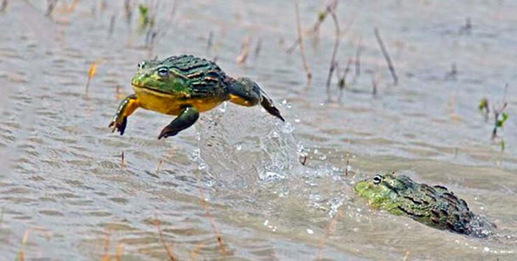 Летящая роющая лягушка