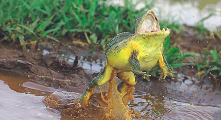 Прыжок роющей лягушки