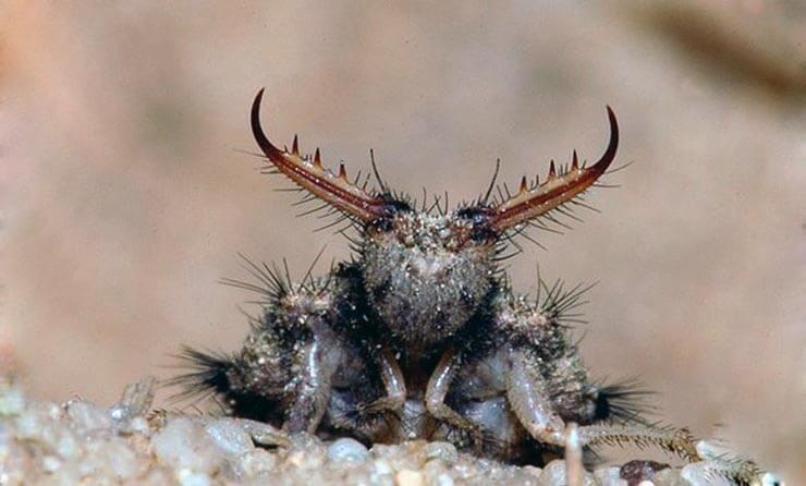 Фото личинки Личинка муравьинного льва обыкновенного