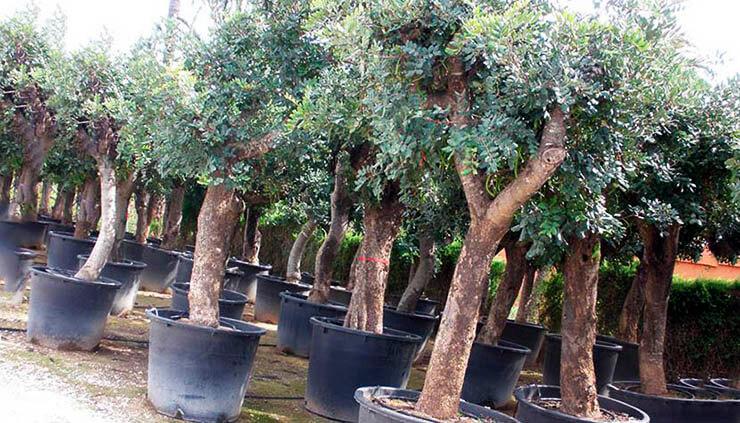 Вазоны с рожковыми деревьями