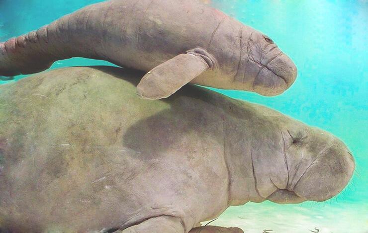Самка африканского ламантина
