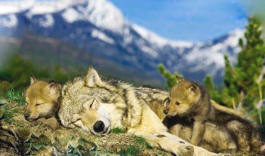 Самка серого волка