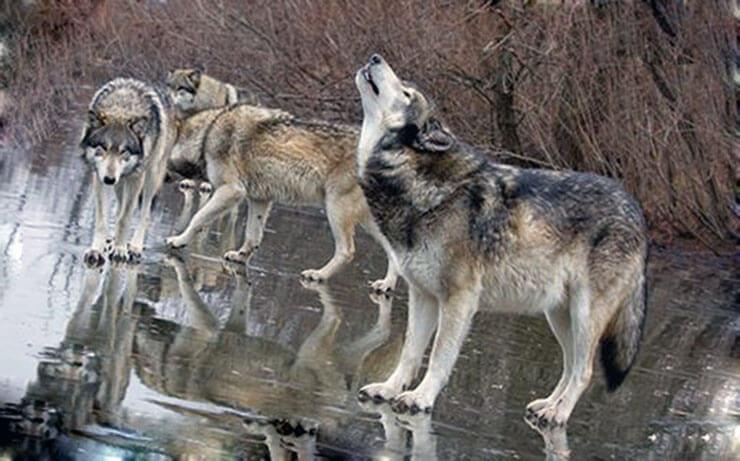 Воющий серый волк