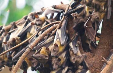 Пальмовый крылан