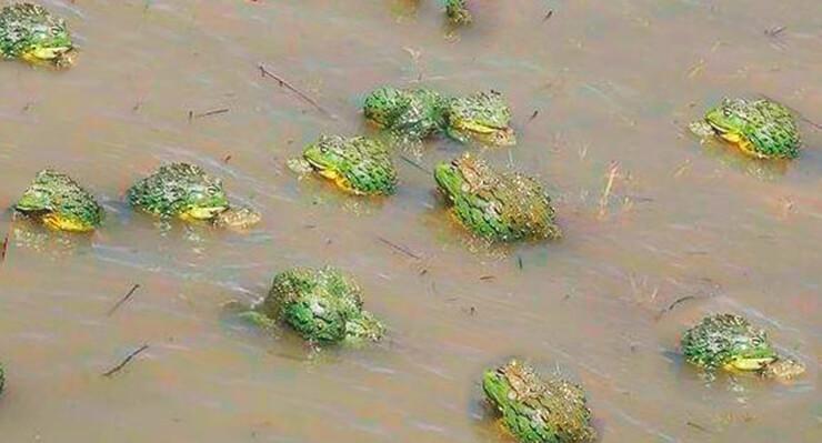 Сообщество роющих лягушек