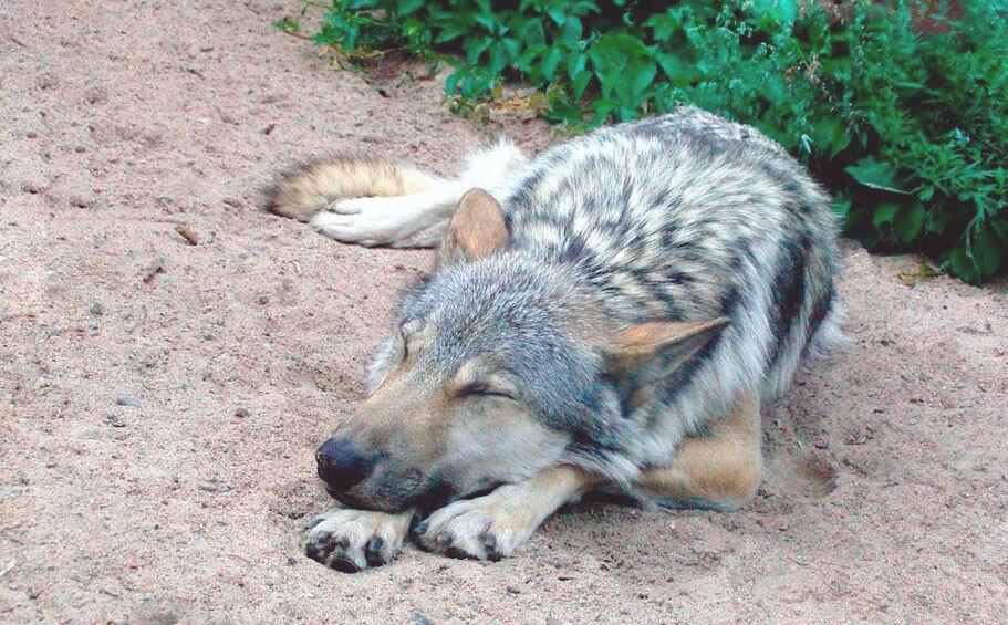 Спящий волк обыкновенный